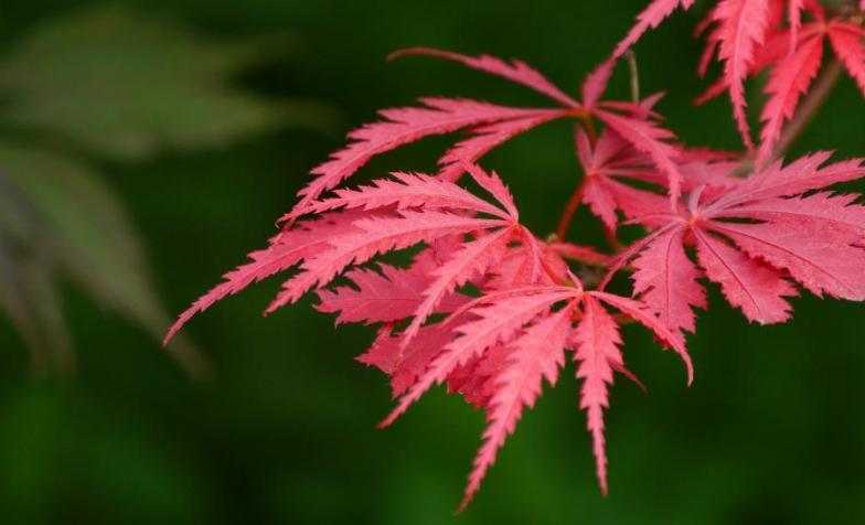A photo of Japanese maple leaves